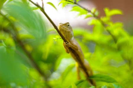 lizard in field: Jard�n lagarto en la rama en el fondo tono verde muy poca profundidad de campo Foto de archivo