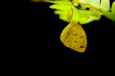 transmute: Common grass yellow butterfly, Eurema simulatrix, leaves the cocoon on black background