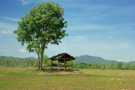 shanty: Dilapidated hut under tree in rice sprouts field Stock Photo
