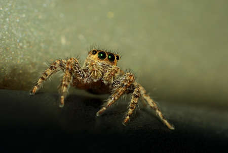 salticidae: Macro shot of jumping spider with sparkly eyes (genus Salticidae) Stock Photo
