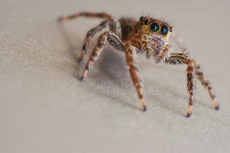 jumping spider: Macro shot of jumping spider (genus Salticidae)