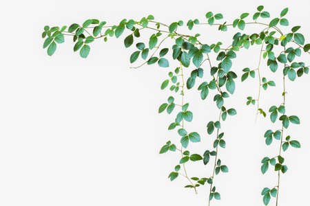 Natural green leave backdrop, wild climbing vine on white background, soft focus