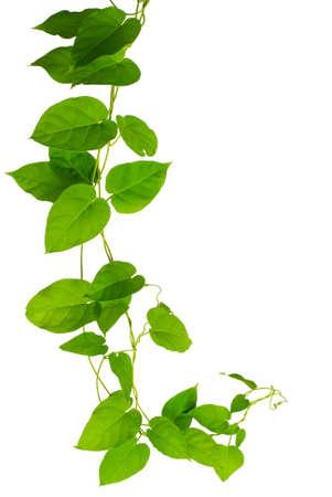 흰색 배경에 고립 된 심장 - 모양의 녹색 잎 덩굴