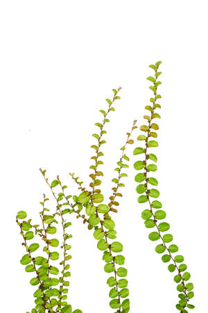 climbing frame: Small creeper plant isolated on white background, under water plant concept, soft focus Stock Photo