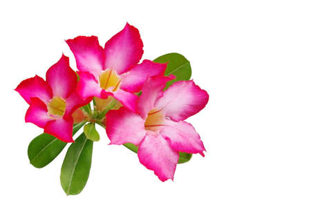 mock azalea: Desert rose (Impala lily, Mock Azalea) pink flower isolated on white background Stock Photo