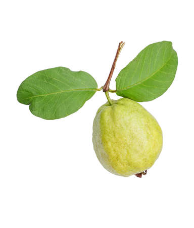 guava fruit: Fresh organic guava fruit isolated on white background