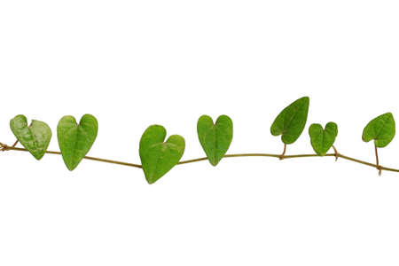 blume: Chain of heart-shaped green leaf vine, Raphistemma hooperianum (Blume) Decne, isolated on white background with clipping path