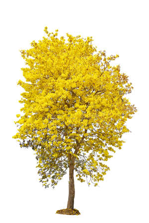 yellow flower tree: Yellow flower tree, golden trumpet, tabebuia, tree of gold, isolated on white background Stock Photo