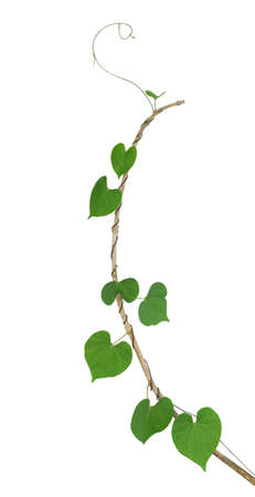 Green heart shaped leaf climbing plant on dried twig isolated on white background, clipping path included 写真素材
