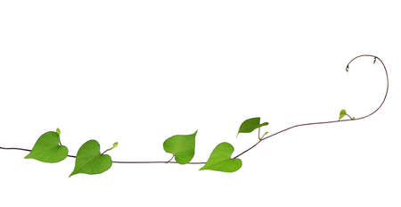 Green heart shaped leaves climbing plant with budding flower isolated on white background, clipping path included 免版税图像