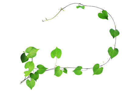 Natural frame of green heart shaped leaves climbing plant with budding flower, clipping path included