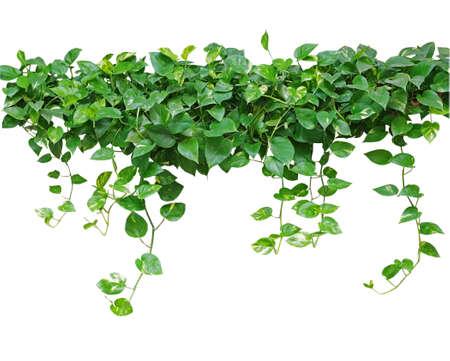 klimmer: Hartvormige bladeren wijnstok, klimop duivel, gouden pothos, geïsoleerd op een witte achtergrond, het knippen inbegrepen weg