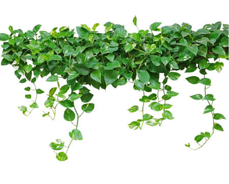climbing frame: Heart shaped leaves vine, devils ivy, golden pothos, isolated on white background, clipping path included