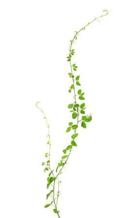 Wild climbing vine, Cayratia trifolia (Linn.) Domin. isolated on white background, clipping path included Banco de Imagens - 59646100