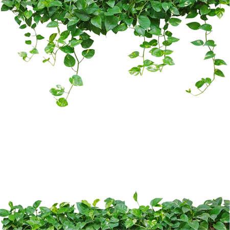Heart shaped leaves vine, devil's ivy, golden pothos, isolated on white background. Natural frame of vines. Green leaves border. Heart leaves frame. Green leaves vines background.