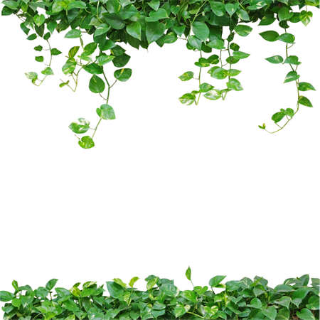 Heart shaped leaves vine, devils ivy, golden pothos, isolated on white background. Natural frame of vines. Green leaves border. Heart leaves frame. Green leaves vines background.