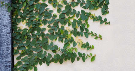 climbing fig: Creeping fig, Ficus pumila, climbing on creamy concrete wall background Stock Photo