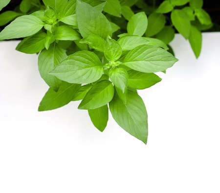 hoary: Lemon basil, hoary basil, medicinal plant