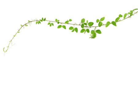creeper: Wild climbing vine, Cayratia trifolia (Linn.) Domin. isolated on white background Stock Photo
