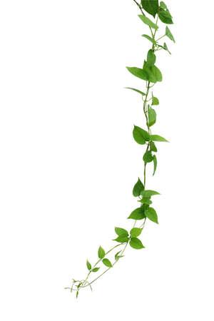 심장 모양의 녹색 잎 덩굴 흰색 배경, 클리핑 경로 포함에 격리. 식물을 등반. 야생 포도 나무. 정글 포도 나무. 스톡 콘텐츠