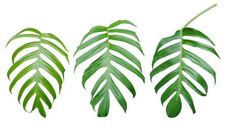Green leaves of Monstera plant, the tropical evergreen vine isolated on white background, clipping path included