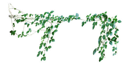 creeper: Wild climbing vine, Cayratia trifolia (Linn.) Domin. isolated on white background, clipping path included