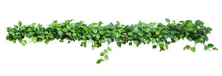 심장 모양의 잎 포도 나무, 악마의 아이비, 황금 pothos 포함 클리핑 경로 흰색 배경에 고립. 자연 신선 하 고 마른 나뭇잎과 관 상용 식물 포도 나무입니