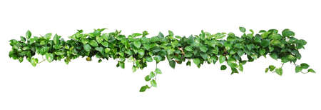Heart shaped leaves vine, devils ivy, golden pothos, isolated on white background, clipping path included. Ornamental plant vine with natural fresh and dried leaves.