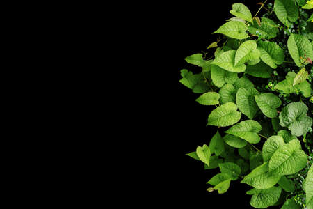 Heart shaped green leaves wild vines, tropical forest plants on black background