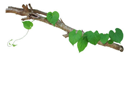 Heart shaped green leaves vine climbing on tree branch isolated on white background, clipping path included