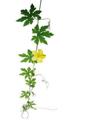 tendrils: Green leaves climbing vine with tendrils and yellow flower isolated on white background, clipping path included. Bitter gourd, bitter melon, a climbing medicinal plant.