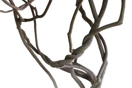 트위스트 정글 덩굴, 트리 분기 흰색 배경에, 클리핑 경로 포함 격리
