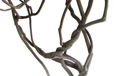 Twisted jungle vines, tree branches isolated on white background, clipping path included