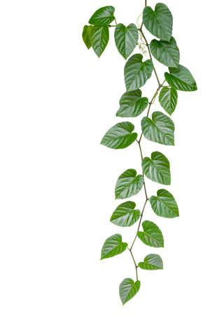 ハート形の緑色の葉クリッピング パスを含める、白地に分離されたジャングルつる植物。熱帯林の植物
