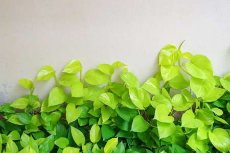 Heart shaped green yellow leaves vines, devils ivy, golden pothos, ornamental plant on concrete wall background