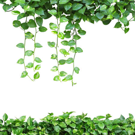 Heart shaped leaves vines, devil's ivy, golden pothos, isolated on white background. Green yellow leaves nature frame.