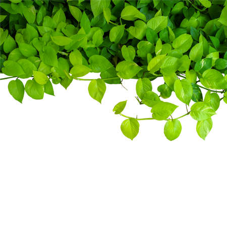 Heart shaped green yellow leaves vine, devil's ivy, golden pothos, isolated on white background, clipping path included