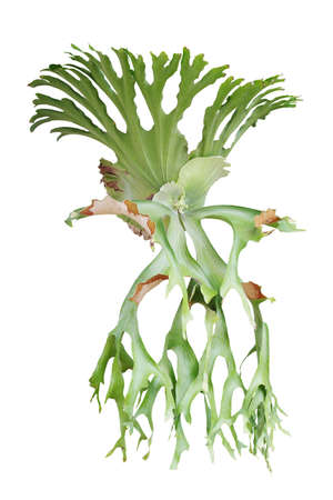 Staghorn fern, Platycerium superbum, ornamental tropical plant isolated on white background with clipping path.