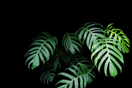 tropical evergreen forest: Green leaves of Monstera plant growing in wild, the tropical forest plant, evergreen vine on black background. Stock Photo