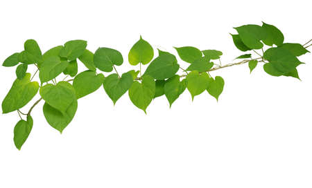 Heart shaped green leaf vines, twisted, isolated on white background, clipping path included. Cowslip creeper, medicinal plant.