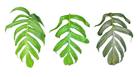 Leaves set of Monstera plant with raindrops, the tropical evergreen vine isolated on white background, clipping path included.