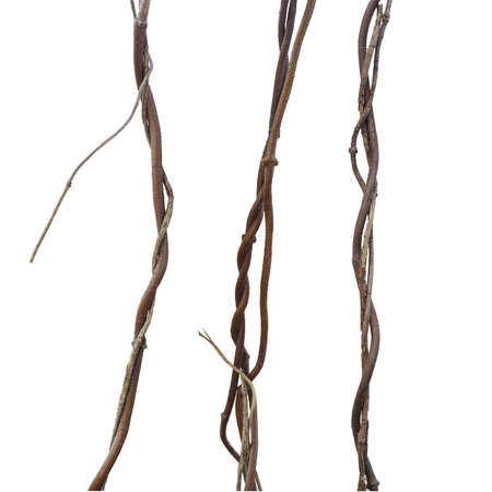 Lianas, jungle climbing set isolated on white background, clipping path included. Fresh and dried twisted around, still alive concept. 写真素材