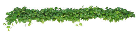 Heart shaped leaves, devil's ivy, golden pothos, isolated on white background, clipping path included. Ornamental plant with natural fresh and dried leaves. Imagens