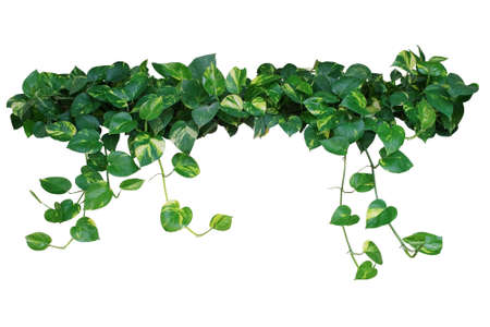 Heart shaped leaves, devil's ivy, golden pothos, isolated on black background, clipping path included