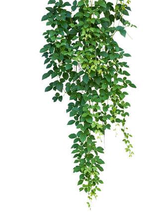 야생 등반, Cayratia trifolia (Linn.) Domin. 포함하는 클리핑 패스 흰색 배경에 고립. 정글의 교수형 나뭇 가지