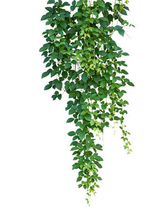 Wild climbing, Cayratia trifolia (Linn.) Domin. isolated on white background, clipping path included. Hanging branches of jungle Imagens