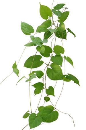 ハート形の緑葉に孤立した白い背景に、クリッピング パスを含めるを登山します。カウスリップ (サクラソウ) クリーパー、薬用植物。 写真素材