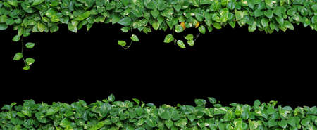 hojas en forma de corazón, la hiedra del diablo, potos de oro, aislado en fondo negro. Planta ornamental con hojas frescas y secas naturales en vista panorámica, la naturaleza fondo de hojas verdes.