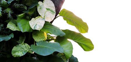 Heart shaped leaves, devil's ivy, golden pothos (Epipremnum aureum), growing huge leaves climbing tree on white background, soft focus.