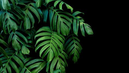 Green leaves of Monstera plant growing in wild, the tropical forest plant, evergreen vine on black background. Stock Photo